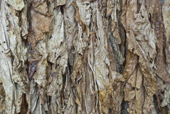 Tobacco leafs Royalty Free Stock Image