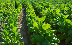 Tobacco leafs Royalty Free Stock Photography