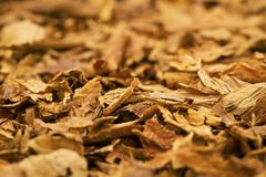 Tobacco Leafs. A macro shot of cigar tobacco. These cigars are robusto sized royalty free stock image