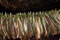 Tobacco leafs drying, cuba, vinales Stock Photos