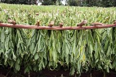 Tobacco leafs drying in a farm, in vinales, cuba Stock Photo