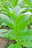 Tobacco leafs in a plant Stock Photos