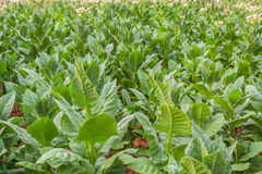Tobacco leafs at a plantation. Tobacco leaves are green and flowering Royalty Free Stock Photos
