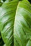 Tobacco leafs at a plantation at Spain Royalty Free Stock Photos