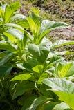 Tobacco leafs at a plantation at Spain Royalty Free Stock Images