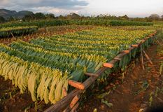 Tobacco leaved drying. A background of tobacco leaves drying in a field Royalty Free Stock Photo