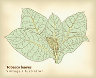 Tobacco leaves. Stock Photo