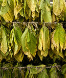 Tobacco leaves Stock Images
