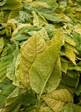 Tobacco leaves Stock Photos