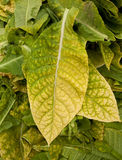 Tobacco leaves Stock Photography
