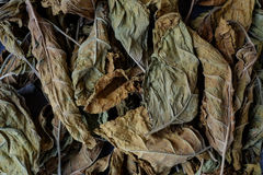 Tobacco leaves are dried. The classic method of drying tobacco in the barn Stock Image