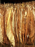 Tobacco leaves drying. Tobacco leaves hung up to dry in north poland royalty free stock image