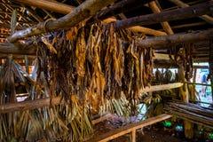 Cigar tobacco leaves, Cuban farm royalty free stock image