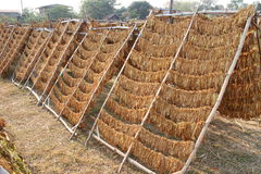 Tobacco Leaves drying on a rack Stock Photos