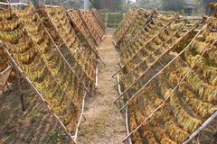 Tobacco Leaves drying on a rack Royalty Free Stock Photos