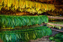 Tobacco leaves drying in the shed. Stock Photos