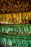 Tobacco leaves drying in the shed. Stock Photography
