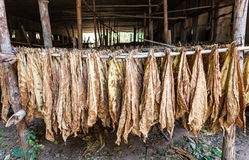 Tobacco leaves drying in the shed. Royalty Free Stock Photos