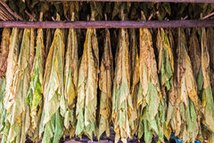 Tobacco leaves drying in the shed. Royalty Free Stock Photography