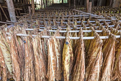 Tobacco leaves drying in the shed. Stock Images