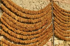 Tobacco leaves drying on wall stock photo