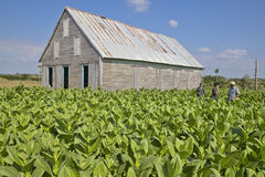 Tobacco leaves growing in sun near tobacco barn in central Cuba Royalty Free Stock Image