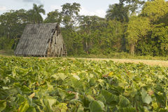 Tobacco leaves growing in sun near tobacco barn in the Valle de Vi�ales, in central Cuba Stock Images