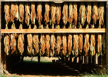 Tobacco Leaves Hanging and Drying in a Rural Barn Stock Image