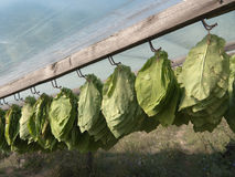 Tobacco Leaves Hanging To Dry Royalty Free Stock Photo