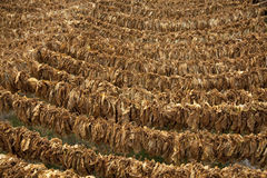 Tobacco leaves hung up to dry. Stock Images