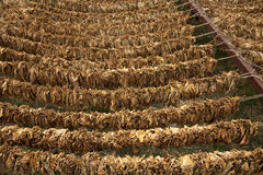Tobacco leaves hung up to dry. Stock Image