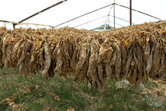 Tobacco leaves hung up to dry. Royalty Free Stock Image