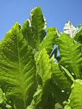 Tobacco leaves Stock Image