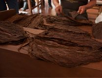 Tobacco making process the selection of a good leafs in a factory in Mexico City royalty free stock photo