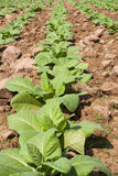 Tobacco Northeast of Thailand Stock Photos