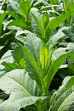 Tobacco Plant. In northern Thailand Royalty Free Stock Image