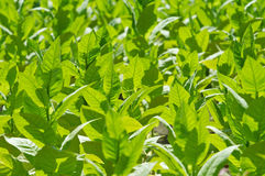 Tobacco plant royalty free stock photo