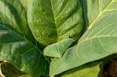 Tobacco Plant stock image