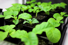 Tobacco plant royalty free stock images