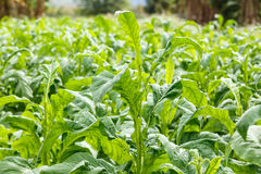 Tobacco plant on countryside of thailand Stock Photos