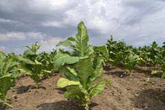 Tobacco plant Stock Photo