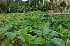 Tobacco plant Royalty Free Stock Photos