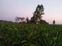 Tobacco plant in Lom Sak 1 royalty free stock photos