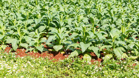 Tobacco plant in northern on thailand Stock Photos