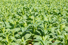 Tobacco plant in northern on thailand Stock Images