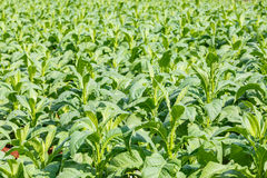 Tobacco plant in northern on thailand Royalty Free Stock Image