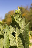 Tobacco plant Royalty Free Stock Photography