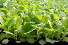 Tobacco plant. Young tobacco plant in greenhouse Royalty Free Stock Images