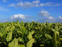 Tobacco plantation. And cloudy sky; flowers and leaves tobacco; Nicotiana tabacum; harvest time; tobacco texture royalty free stock images