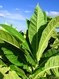 Tobacco plantation Stock Photography